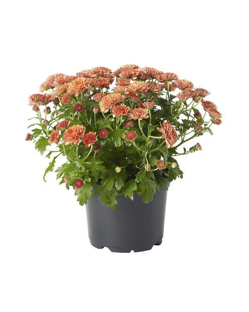 Pallokrysanteemi, Ø12 cm, Punainen
