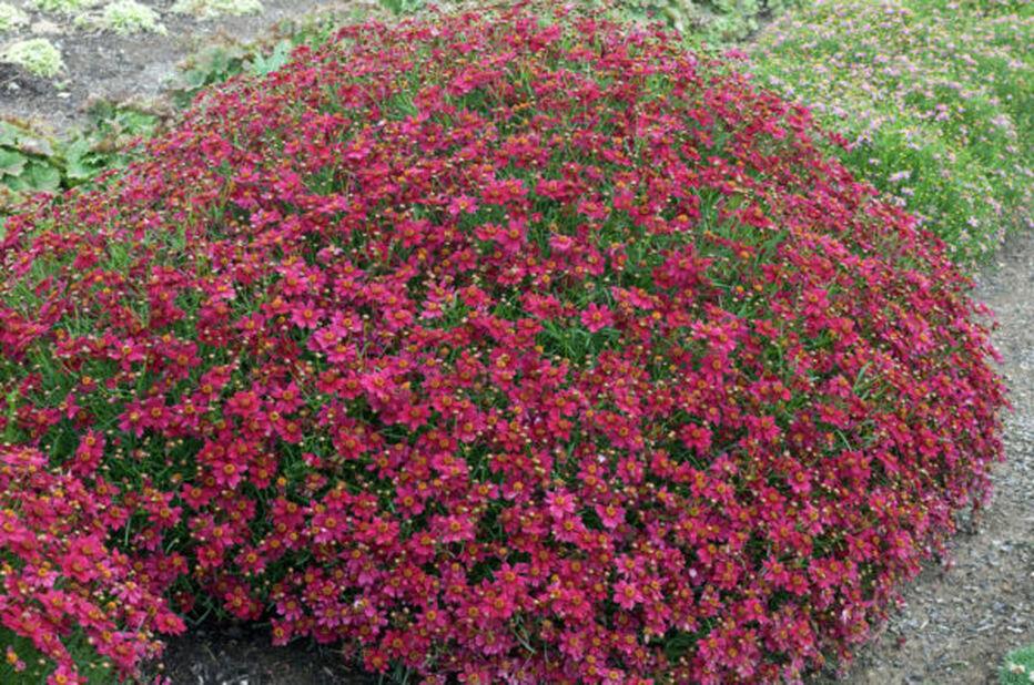 Syyskaunosilmä , Korkeus 15 cm, Punainen