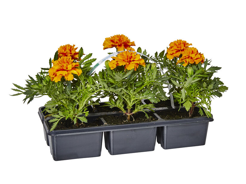 Tagetes Orange 6-pack