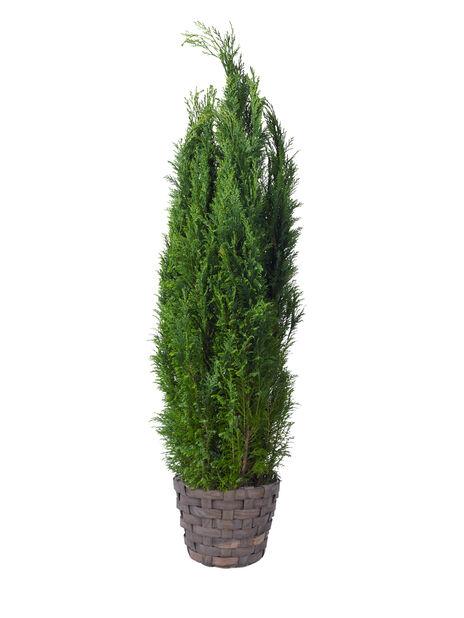 Lawsoninsypressi 'Ellwoodii' , Korkeus 100 cm, Sininen