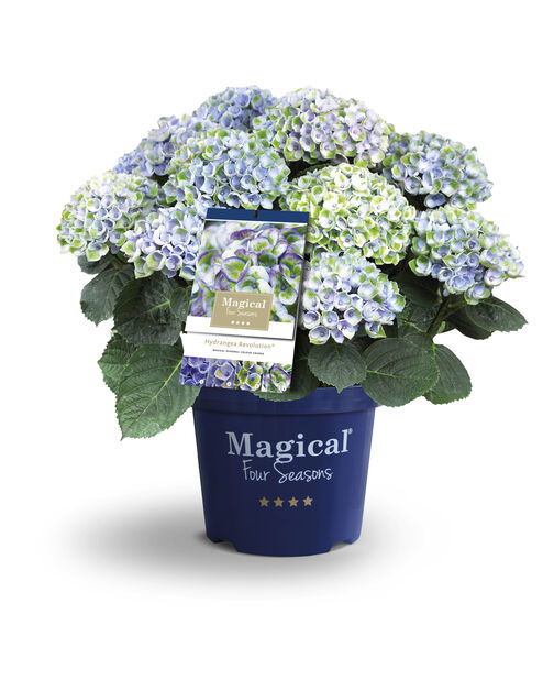 Jalohortensia 'Magical', Ø23 cm, Useita värejä