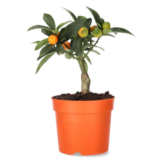 Kumkvatti, Ø12 cm, Oranssi