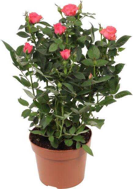 Ruukkuruusu, Korkeus 30 cm, Pinkki
