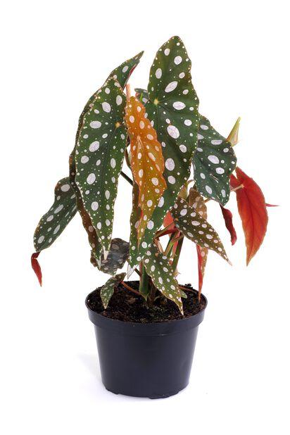 Begonia 'Maculata', Korkeus 25 cm, Vihreä