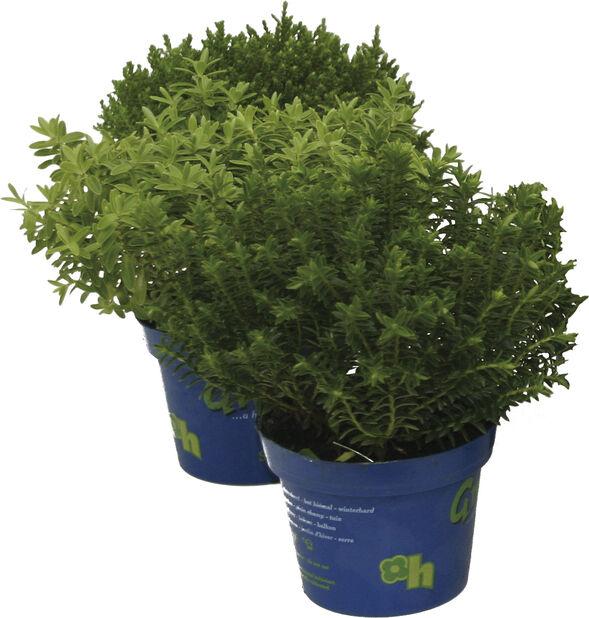 Pensastädyke 'Green Boys', Ø12 cm, Useita värejä