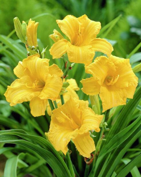 Tarhapäivänlilja , Korkeus 15 cm, Keltainen