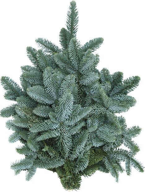 Havunippu nobilis, Korkeus 20 cm, Vihreä