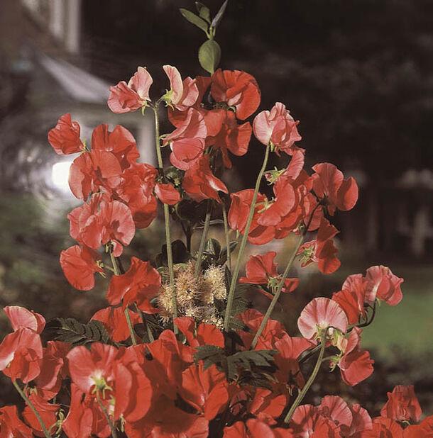 Ruusunätkelmä , Korkeus 15 cm, Pinkki