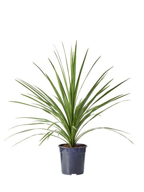Viherliljapuu 'Verde'