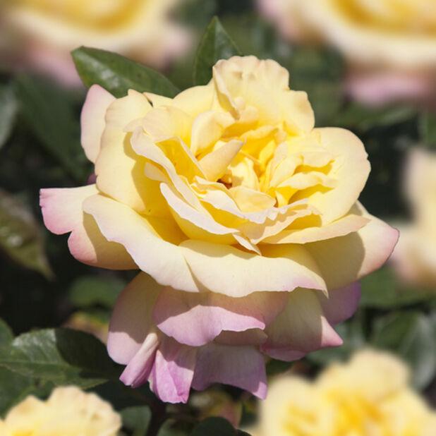 Isokukkainen ruusu 'Peace' , Ø19 cm, Keltainen