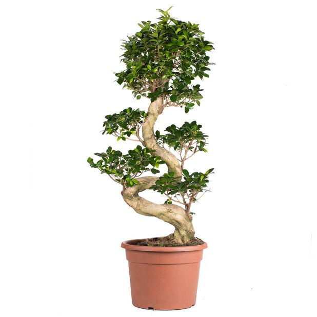 Varjoviikuna, Korkeus 80 cm, Vihreä