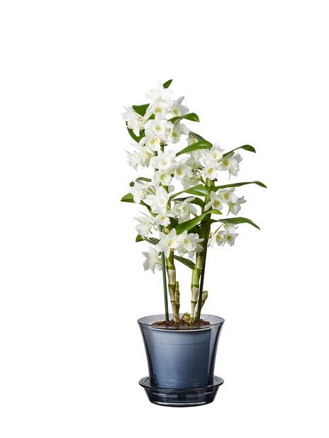 Puikkokämmekkä 'Apollon', Korkeus 50 cm, Valkoinen
