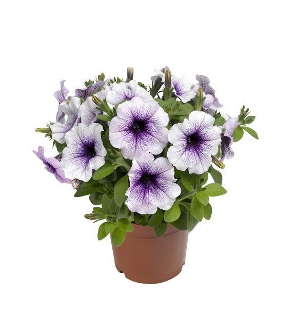 Petunia 'Blue Vein', Ø12 cm, Sininen