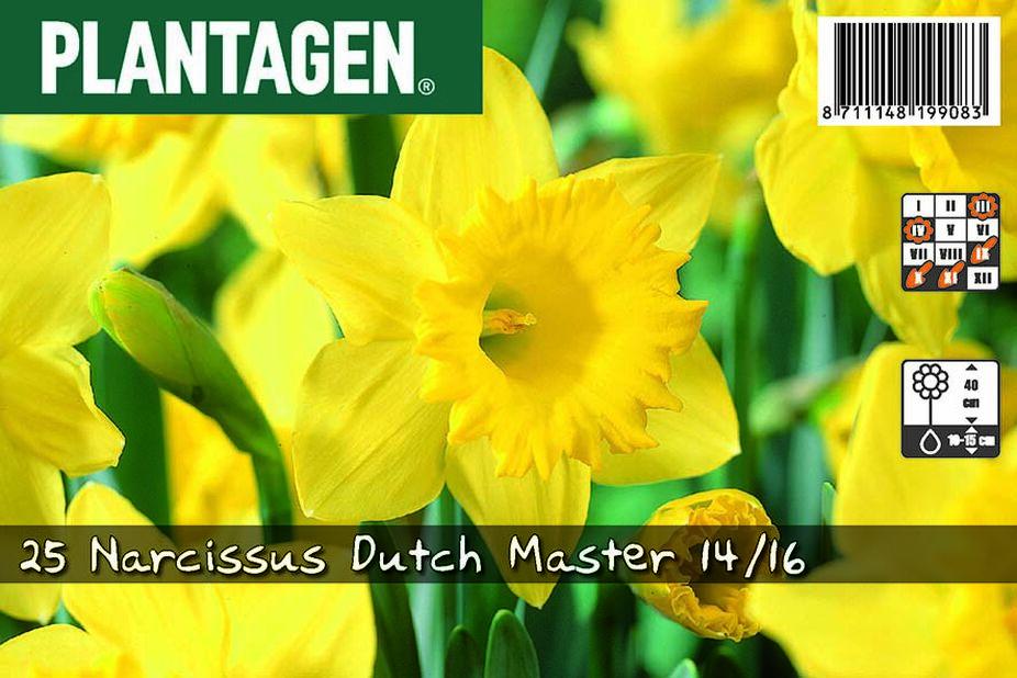 Narsissi 'Dutch Master', Useita värejä