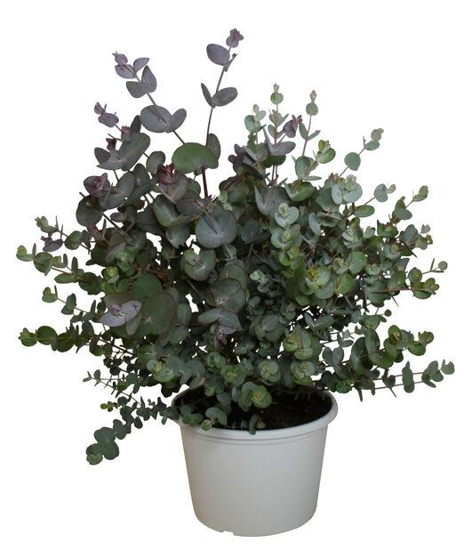 Hopeaeukalyptus, Ø17 cm, Harmaa