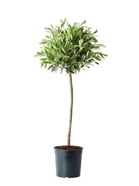 Oliivipuu, Korkeus 80 cm, Harmaa