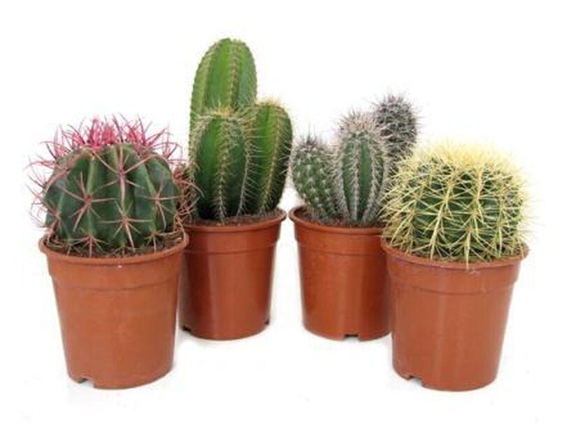 Kaktus 17 cm