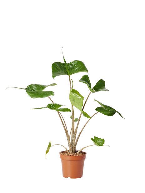 Alokasia 'Stingray' 12 cm