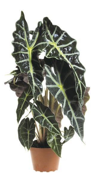 Alocasia Lauterbachiana 12cm