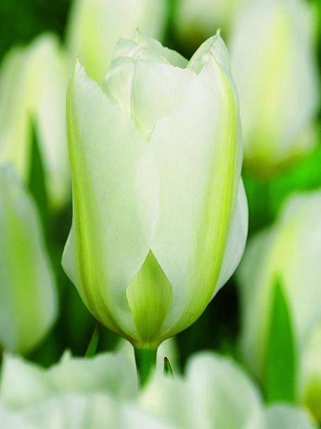 Tulppaani 'Purissima', Useita värejä