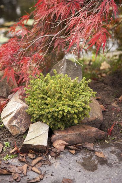 Picea abies `Little Gem' bowl 23cm