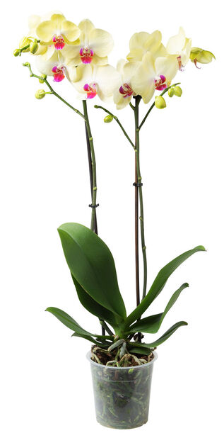 Perhosorkidea, Ø12 cm, Keltainen