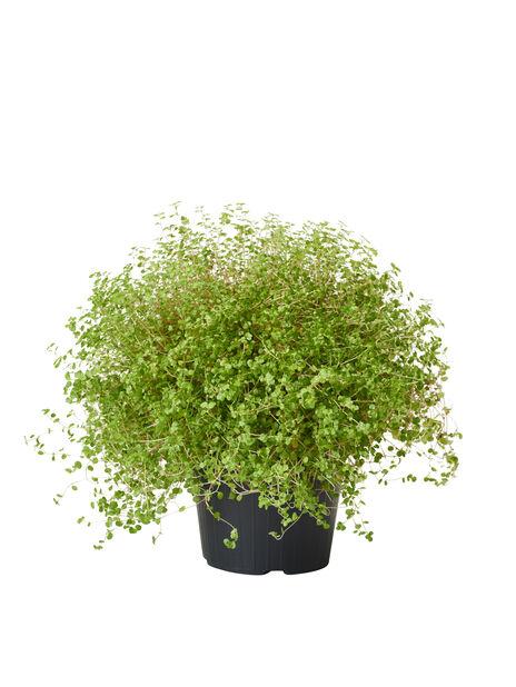 Soleirolia soleirolii 10,5 cm