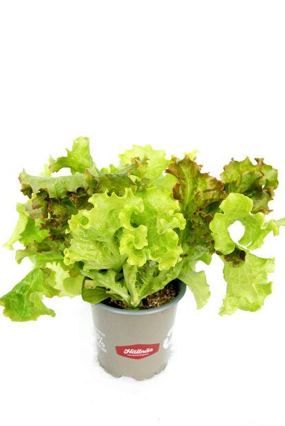 Salaatti KRAV-luomumerkitty, Ø10.5 cm, Monivärinen