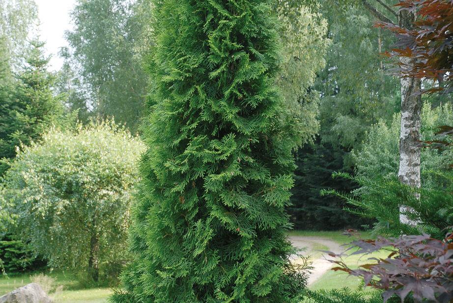 Timanttituija 'Smaragd', Korkeus 60-70 cm, Vihreä