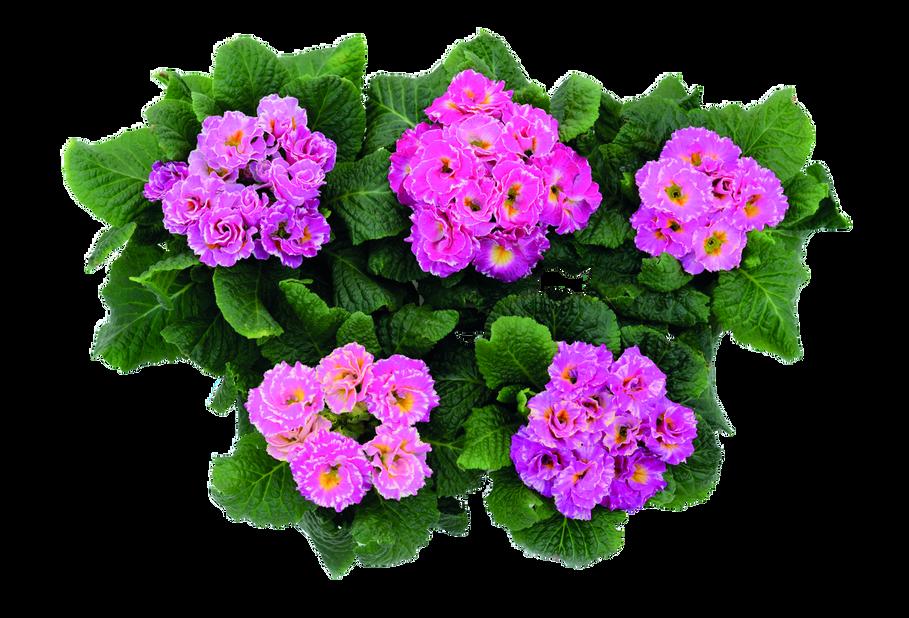 Kevätesikko, Ø10.5 cm, Useita värejä