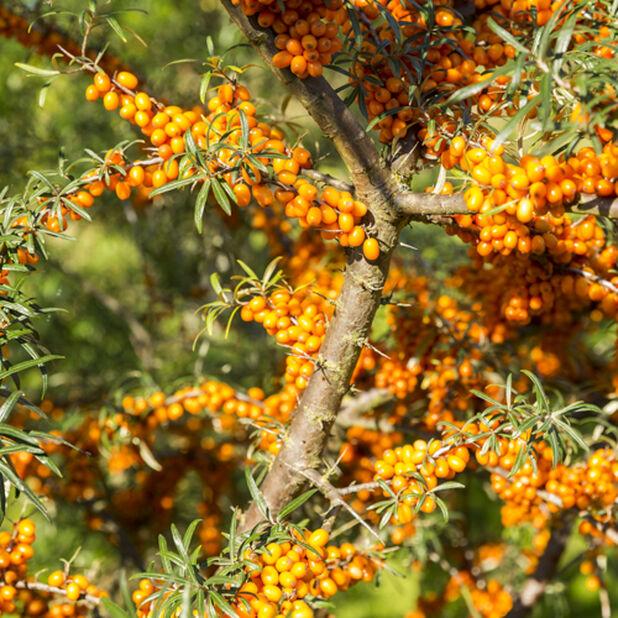 Tyrni 'Julia' , Korkeus 40 cm, Oranssi