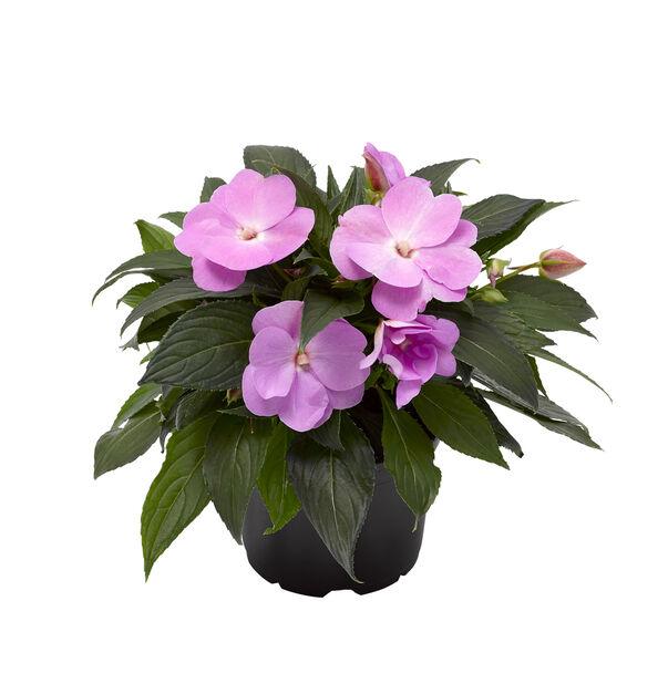 Uudenguineanliisa, Ø12 cm, Violetti