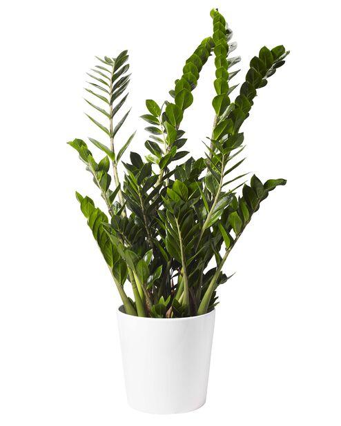 Palmuvehka, Korkeus 110 cm, Vihreä