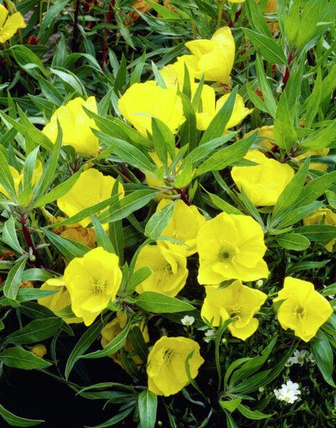 Helokki , Korkeus 15 cm, Keltainen