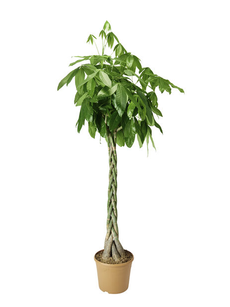 Kastanjasutipuu, Korkeus 200 cm, Vihreä