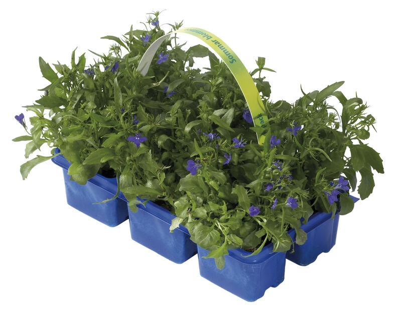 Lobelia hang. Blue 6-pack
