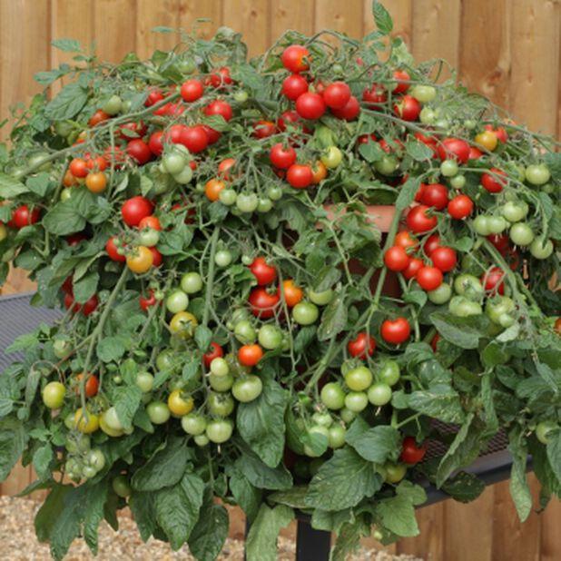 Tomaatintaimi amppelissa