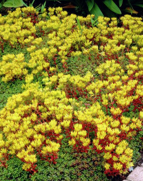 Oregoninmaksaruoho , Korkeus 15 cm, Keltainen