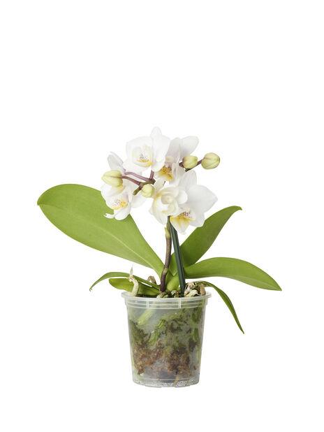 Perhosorkidea mini, Korkeus 20 cm, Valkoinen