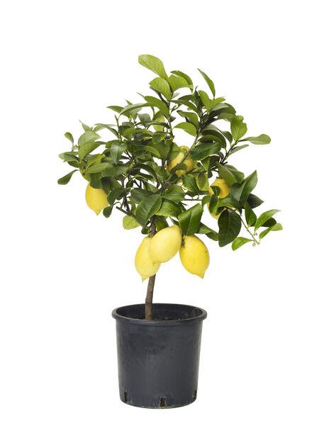 Sitruspuu , Ø21 cm, Keltainen