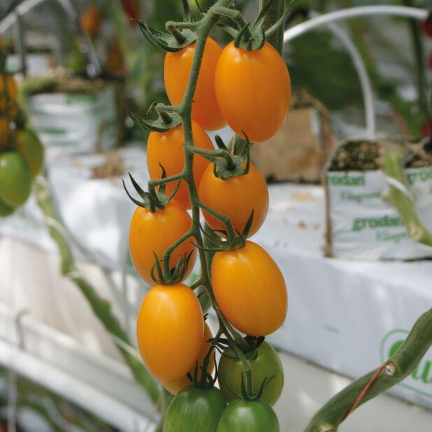 Tomaatti 'Sungold', Ø12 cm, Oranssi