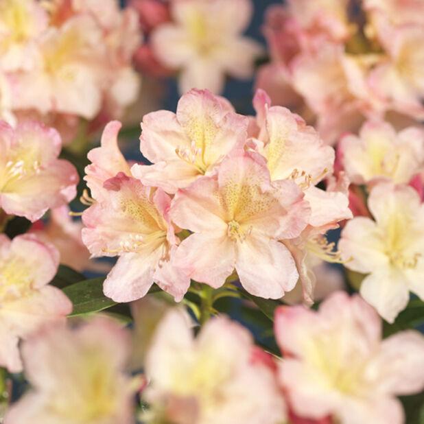 Yakushimanalppiruusu 'Percy Wiseman', Ø21 cm, Pinkki