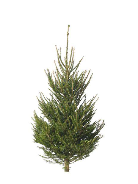 Joulukuusi 150-175 cm