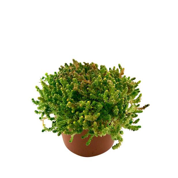 Maksaruoho, Ø12 cm, Useita värejä