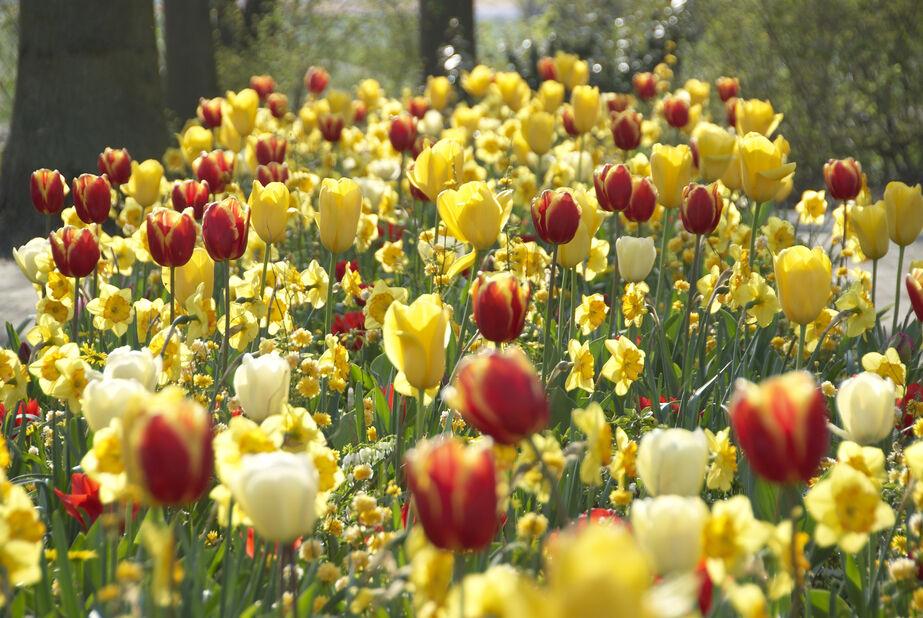 Tulppaani 'Kees Nelis', Useita värejä