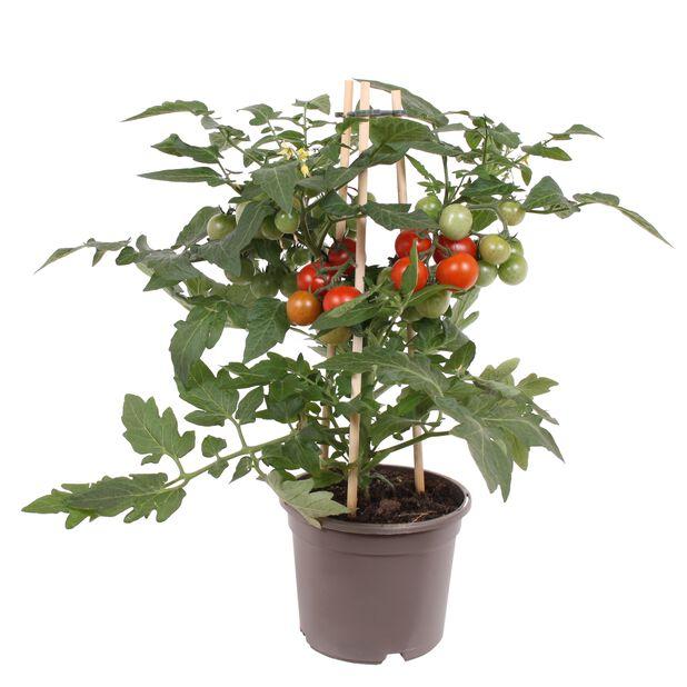 Kirsikkatomaatti, Ø14 cm, Punainen