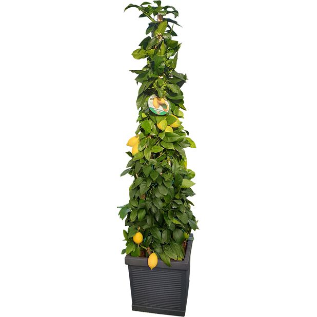 Kartiomallinen sitruspuu, Ø40 cm, Useita värejä