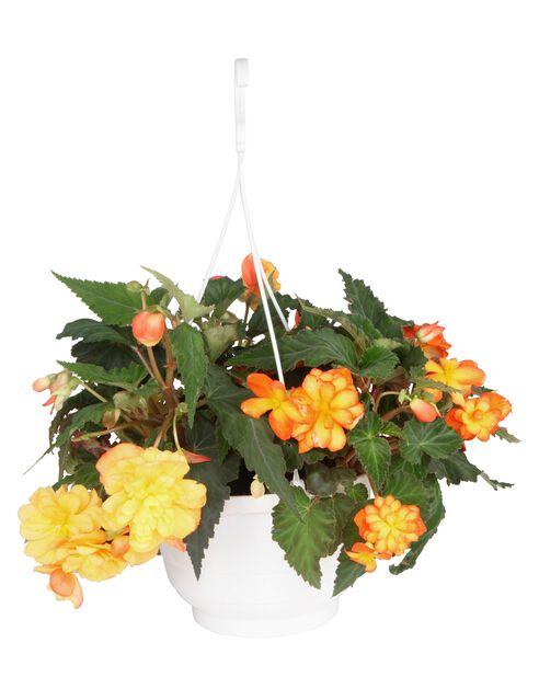 Begonia 'Bonfire', Ø25 cm, Useita värejä