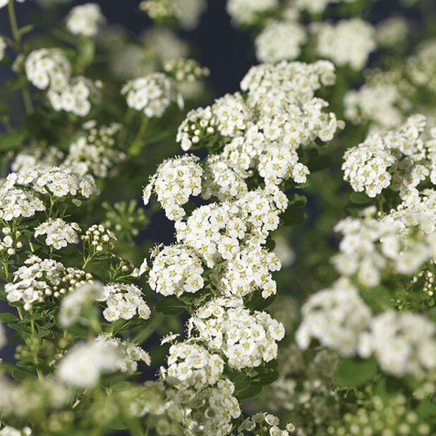 Koivuangervo, Ø19 cm, Valkoinen