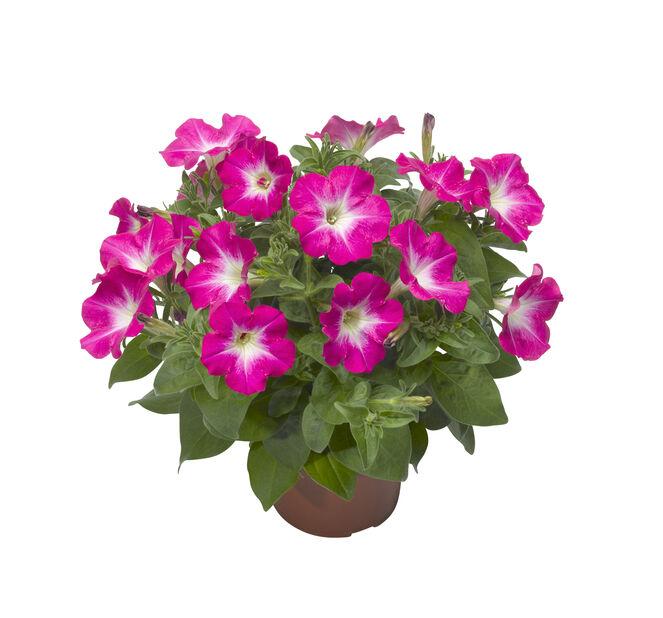 Petunia, Ø12 cm, Pinkki